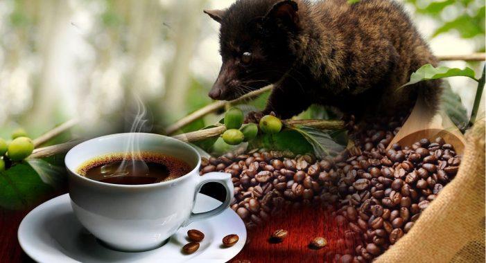 Cà phê phân chồn Kopi Luwak