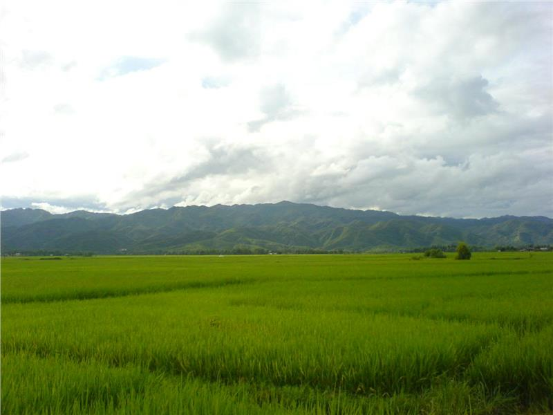 Rice field in Dien Bien