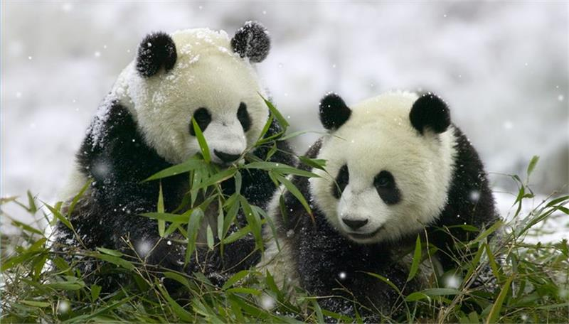Hai chú gấu trúc đang ăn lá cây