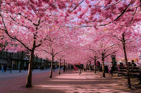 Mùa xuân này, bạn có hẹn tại xứ sở Phù Tang!