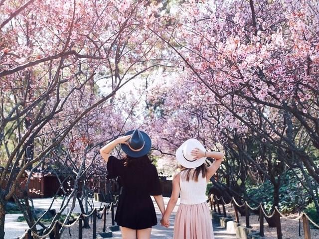 Hoa anh đào đẹp cả mùa hoa nở lẫn hoa rụng