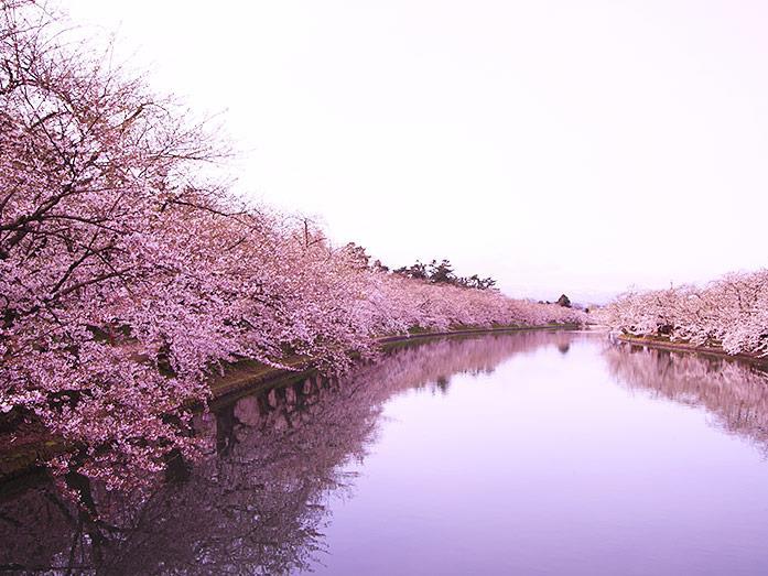 Tháng 4 đến rồi, qua Nhật ngắm hoa anh đào thôi!