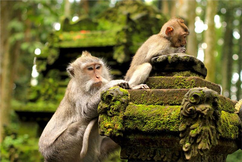 Những chú khỉ đáng yêu trong khu rừng khỉ