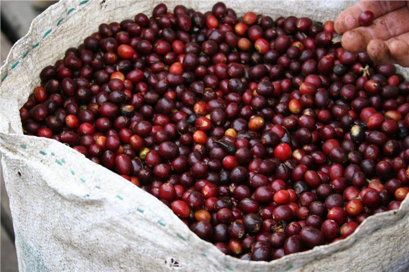 Hạt cà phê Pleiku Gia Lai