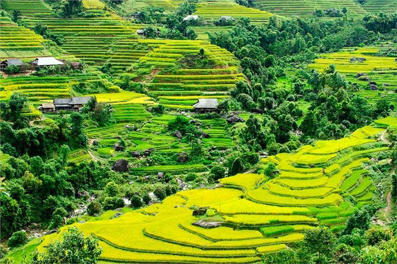 Grain season in Hoang Su Phi