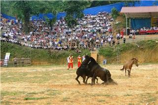 Horse fighting festival in Ha Giang