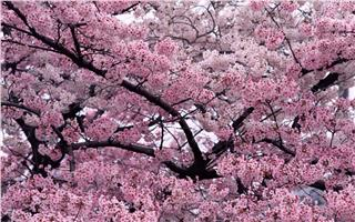Halong Cherry Blossom Festival a bridge between two cultures