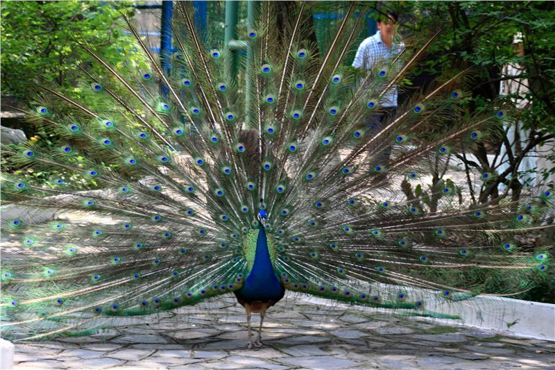 A Peacock in Dam Sen Park