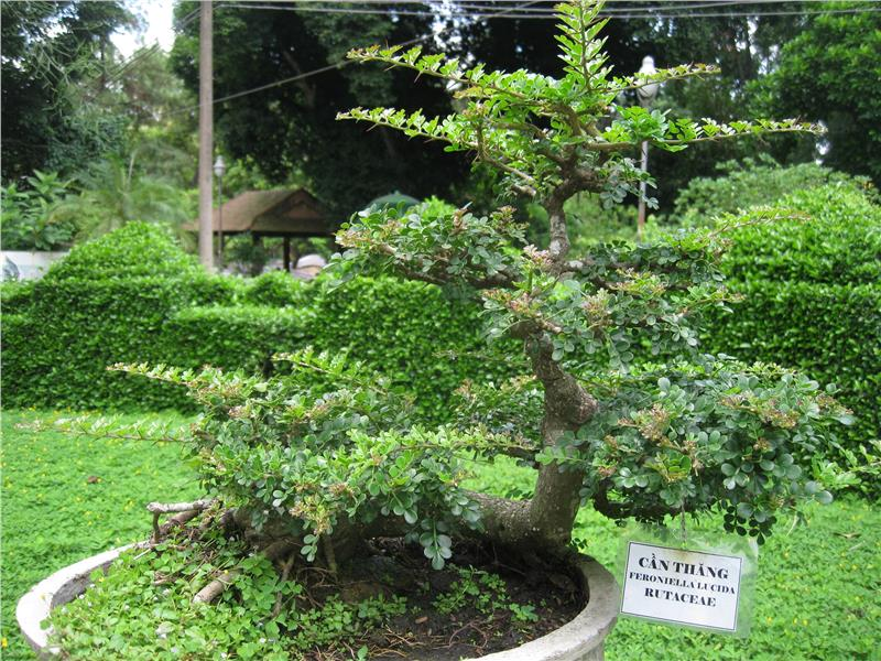 Bonsai in Saigon Zoo and Botanical Gardens