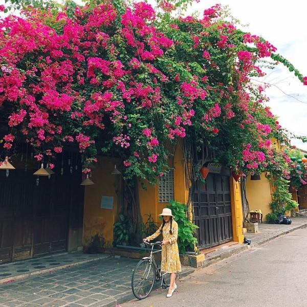 Những giàn hoa giấy trong phố cổ