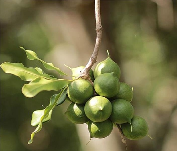 20 000 billion VND for growing Macadamia in Vietnam