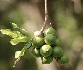 20 000 billion VND for growing Macadamia in Vietnam