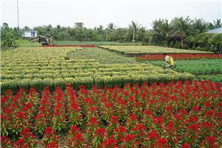 Cho Lach ornamental flower village