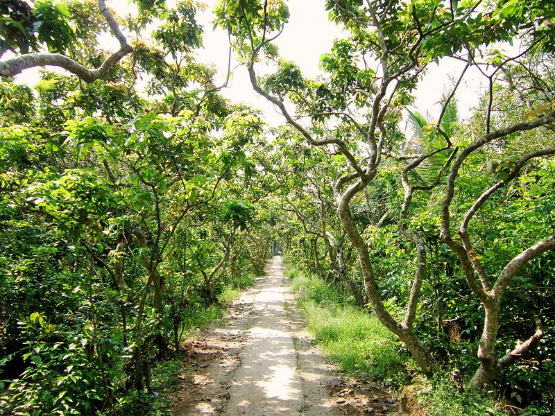 A longan orchard at Turtle Island