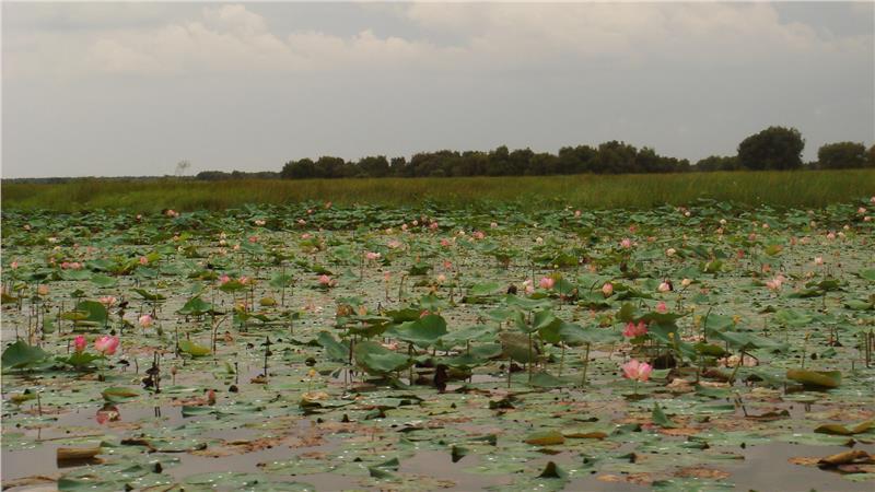 Lotus lake in Dong Thap Muoi