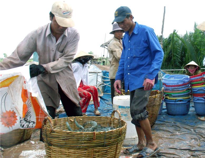 Farmers on prawn harvesting