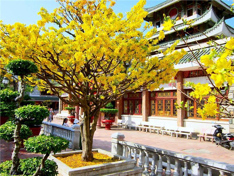 An apricot tree in Ba Chua Xu, Chau Doc, An Giang Province