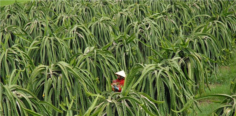 Dragon fruit farm in Binh Thuan