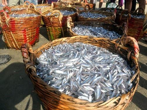 Anchovy - ingredients for Phan Thiet fish sauce