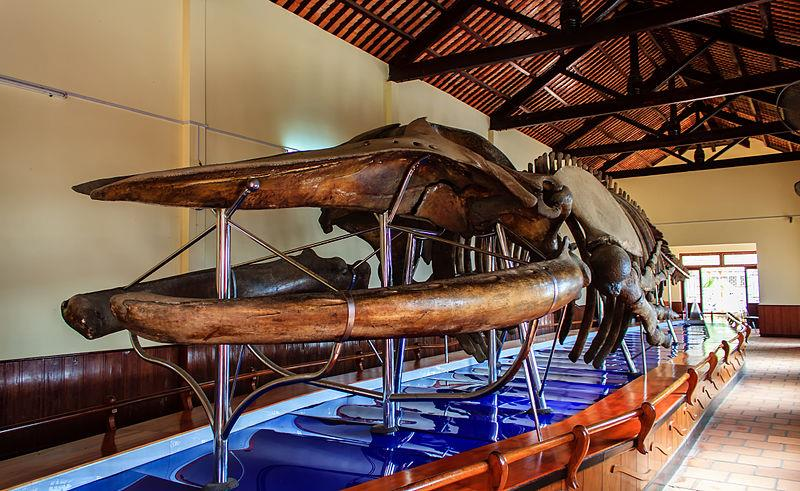 The largest whale skeleton at Van Thuy Tu Temple