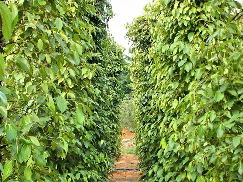 Khu Tuong Pepper Garden