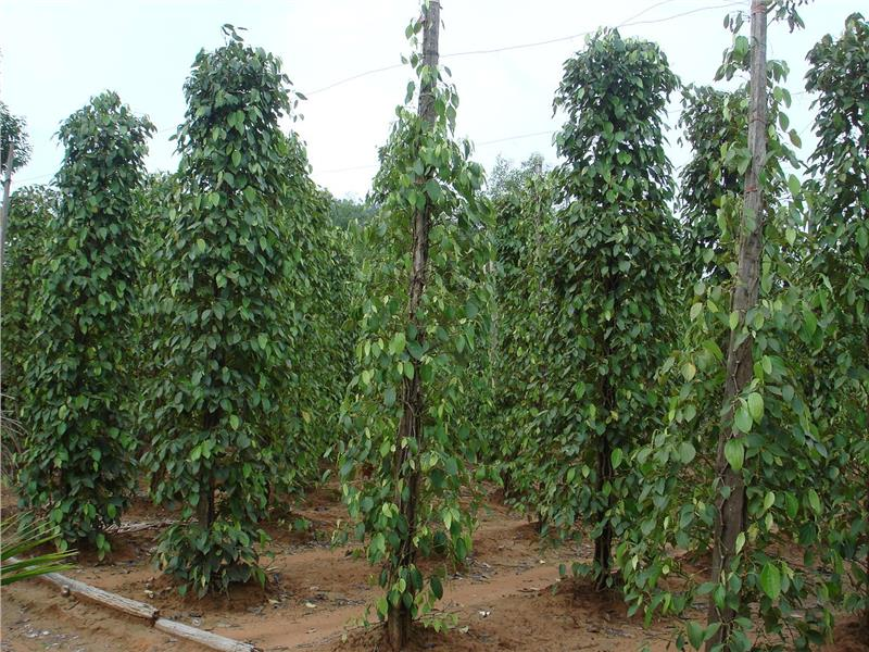 Pepper planting in Phu Quoc