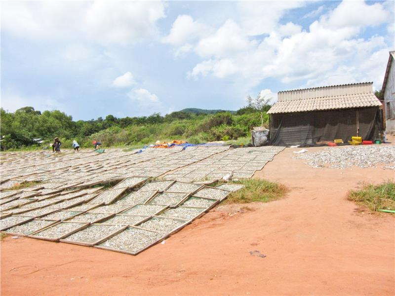 Dry anchovies in Phu Quoc fish sauce factories