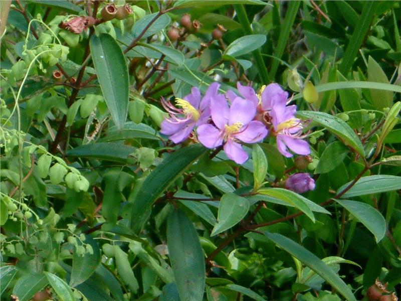Rose Myrtle at Fairy Stream Phu Quoc