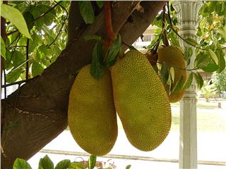 Jackfruit a specialty of Quang Nam province