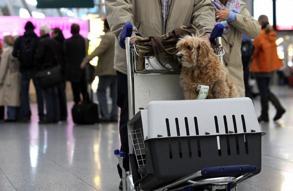 Đi máy bay có được mang theo chó hay không?