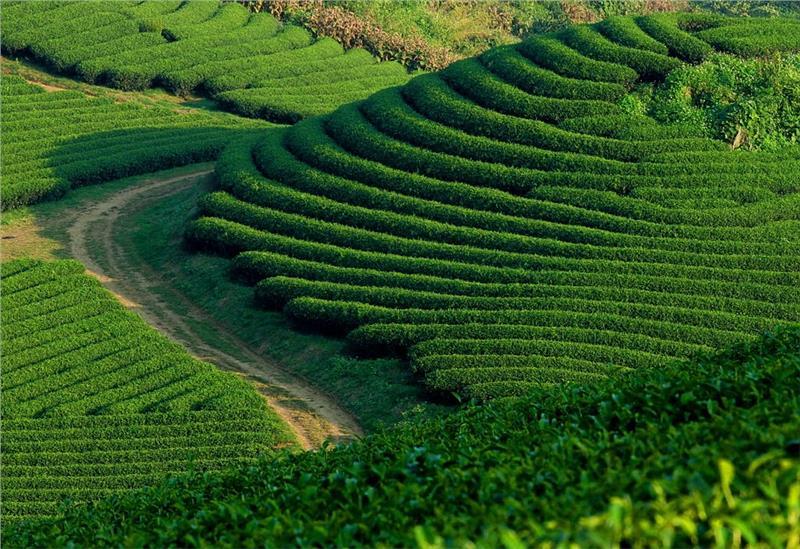 Tea field in Moc Chau, Son La