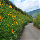 Travel to Vietnam and see the primitive beauty of wild sunflowers