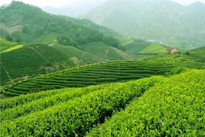 Immense space of tea paddies  in Thai Nguyen