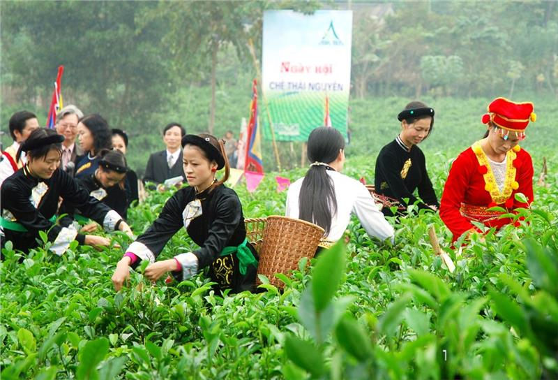 Girls in Thai Nguyen collect the gender tea leaves