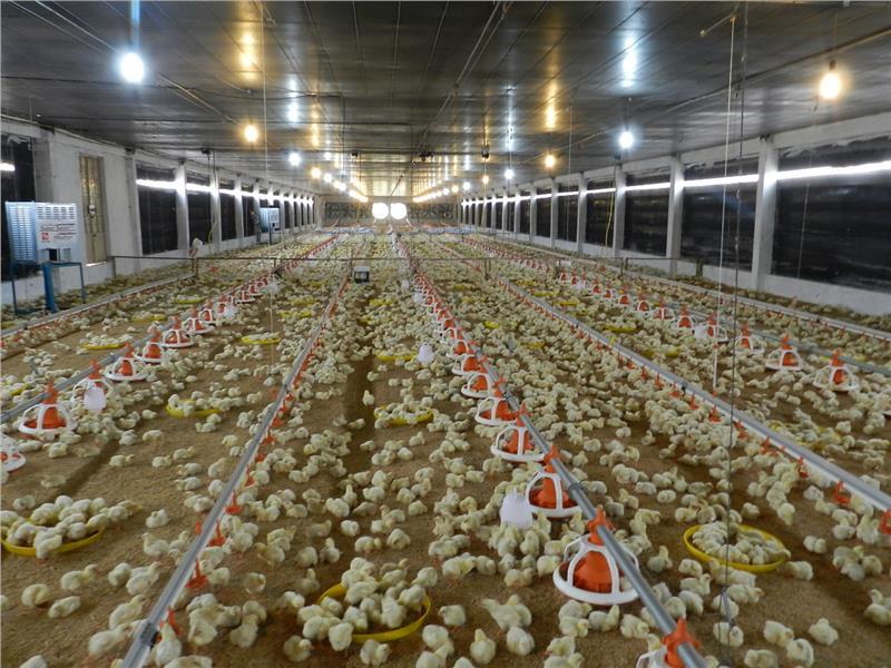 Chicken farm in Vietnam