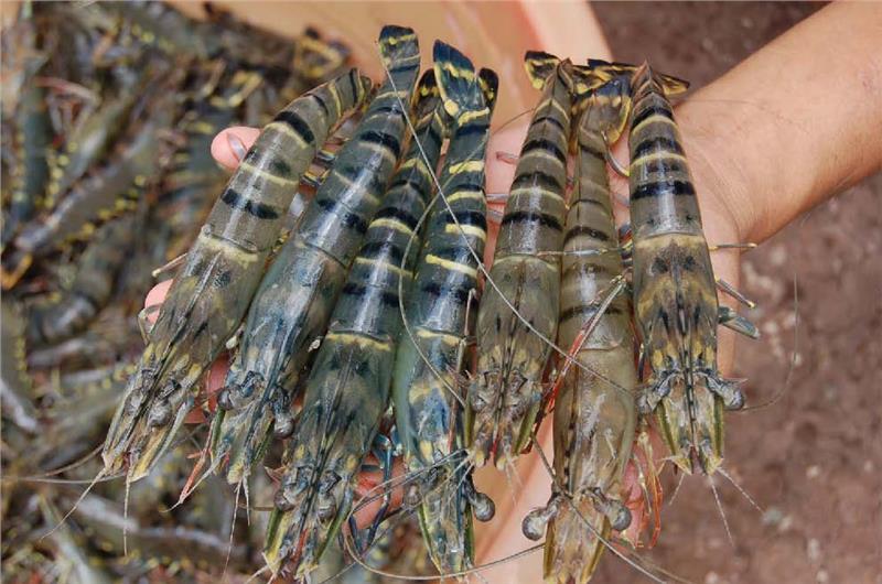 Vietnam Enterprises Expands Shrimp Export