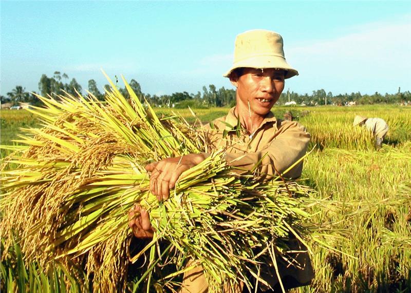 Rice harvesting in Red River Delta