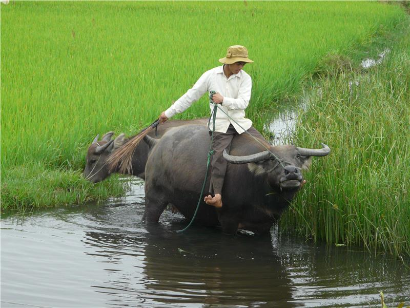Buffalo Riding in Hoi An