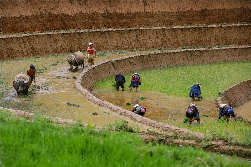 Mu Cang Chai - Local people grow rice