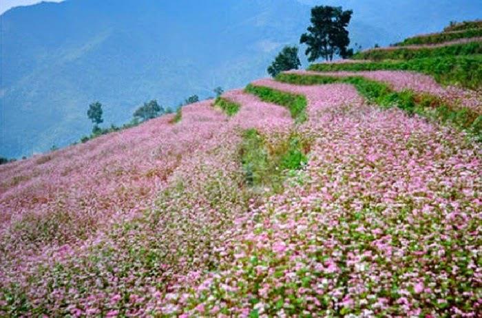 Ngắm hoa tam giác mạch Hà Giang tháng 10